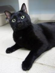 Joe E. is a 2-year-old domestic shorthair/mix available for adoption